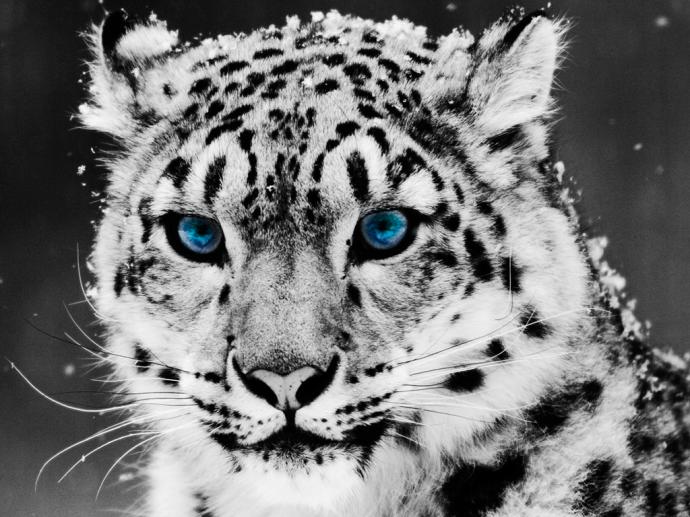 nature-snow-leopard