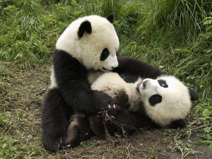 playful-pandas-pictures